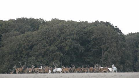 Red Deer,Cervus Elaphus stock footage