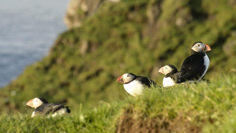 Puffins on the Faroe Islands Footage