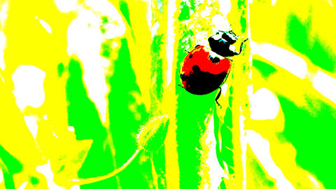 The ladybug creeps on a grass Animation
