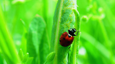 Ladybug on a grass Footage