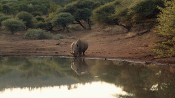 Rhinos walking to the water Footage
