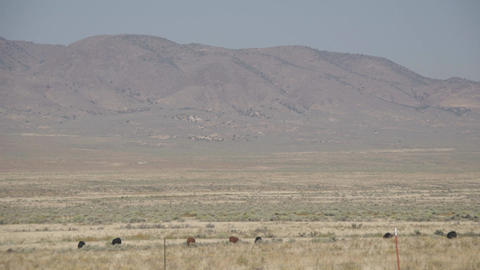 Left Pan of Free Range Cattle in the Desert Footage