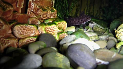 Tarakatum In The Aquarium At Night 02 stock footage