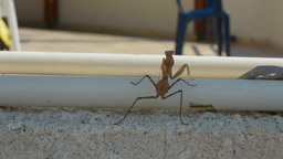 Brown Mantis climbs up over the top of a wall Footage