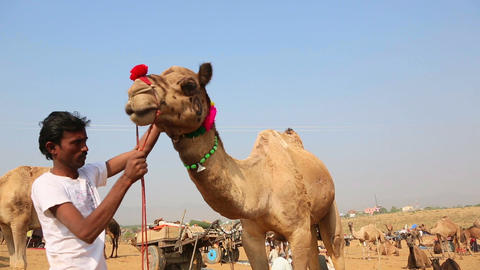 Man decorates a camel Footage