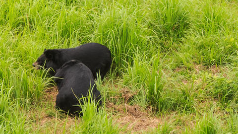 two black bears walk play on green grass in tourist park Footage