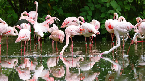 Flock of Pink Flamingos Preening its Feathers Footage