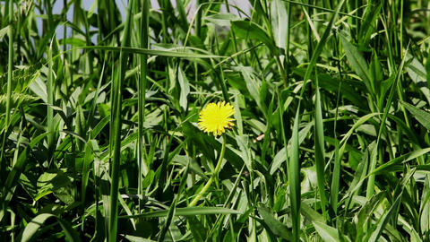 Dandelion and Bee Stock Video Footage