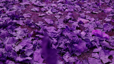 falling purple leaves full on ground Stock Video Footage