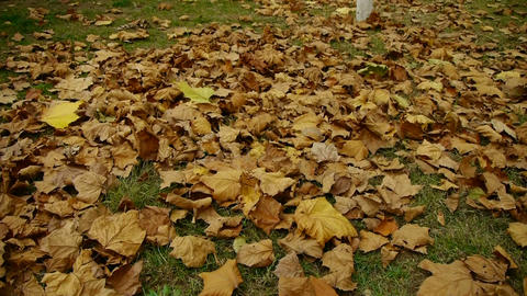 falling golden leaves full on ground Stock Video Footage