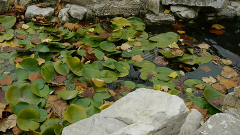 Lotus leaf in pond,rockery stone and shaking water Footage