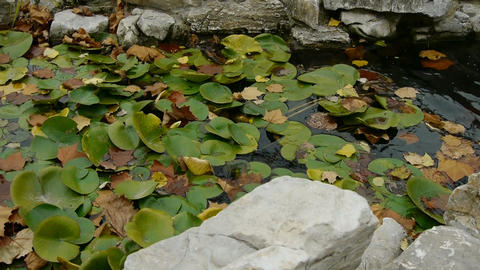 Lotus leaf in pond,rockery stone and shaking water Stock Video Footage