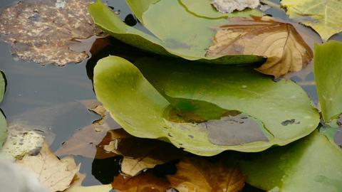 Lotus leaf in pond,shaking water Stock Video Footage