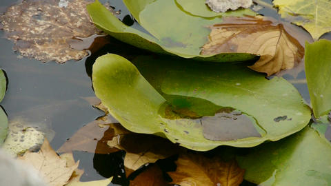 Lotus leaf in pond,shaking water Stock Video Footage