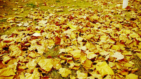 falling maple leaves full and golden sunlight on ground Stock Video Footage
