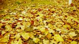 falling maple leaves full and golden sunlight on ground Footage