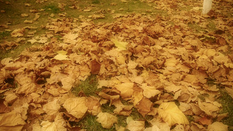 falling maple leaves full and golden hazy sunlight on ground Footage
