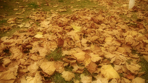 falling maple leaves full and golden hazy sunlight on ground Stock Video Footage