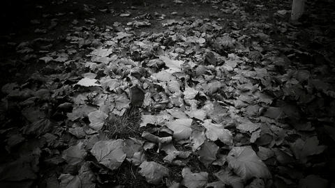 falling leaves full on ground,black and white film Stock Video Footage