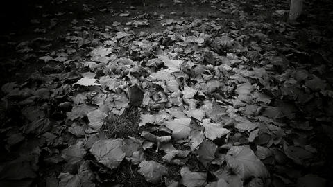 falling leaves full on ground,black and white film Footage