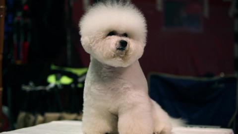 Dog Bichon Frise Stock Video Footage