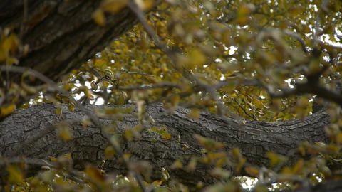 lush ginkgo tree in breeze,Trunk,forest,woods Stock Video Footage