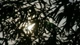 wind shaking bamboo silhouette,sunrise,sunset,sunshine Footage