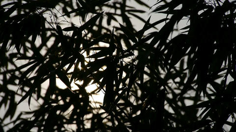 wind shaking bamboo silhouette,sunrise,sunset,sunshine Stock Video Footage