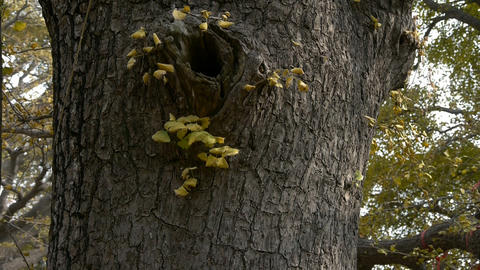 Thick trunk,lush ginkgo tree in breeze,Trunk,forest,woods Footage