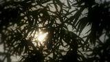 wind shaking bamboo silhouette,sunrise,sunset,sunshine Footage
