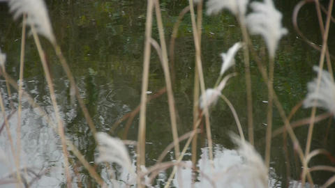 river reeds in wind,shaking wilderness,reflection,Hazy style Footage