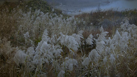 river reeds in wind,shaking wilderness Footage