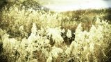 River Reeds In Wind,shaking Wilderness,bright Sunshine,sunset,sunrise stock footage