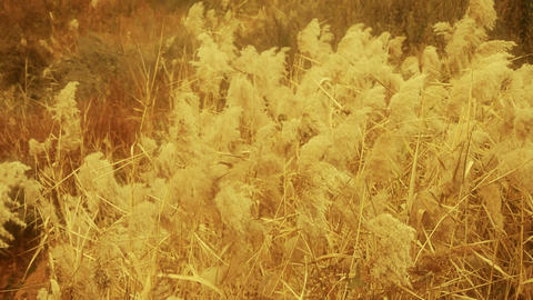 river reeds in wind,shaking wilderness,Bright sunshine,sunset,sunrise,Hazy style Footage