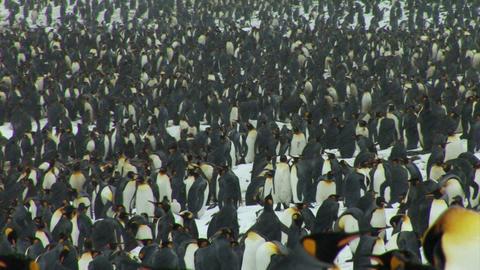 South Georgia: king penguin crowd 3 Stock Video Footage