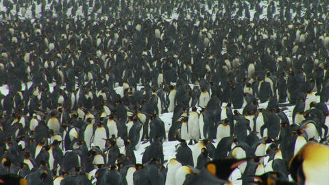 South Georgia: king penguin crowd 3 Stock Video Footage