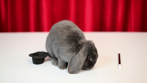 Rabbit in magic show Stock Video Footage