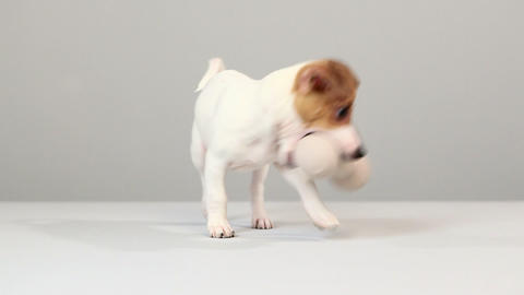 Jack russell with dog bone Stock Video Footage