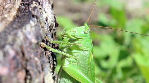 Grasshoper stock footage