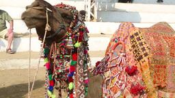Decorated camel portrait Footage