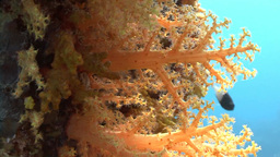 Stunning Colorful Coral Reefs In The Red Sea stock footage