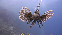 Lionfish, Gracefully Floating Over A Coral Reef In The Red Sea stock footage