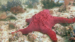 The Abundance And Species Diversity Of Sea Stars Of The Philippine Sea stock footage