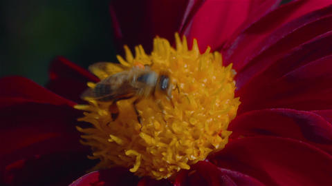 Macro Shot of a Bee Pollinating a Red Flower Footage
