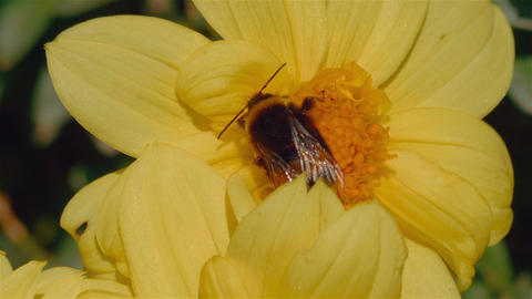 Macro Shot of a Bee Pollinating a Yellow Flower Footage
