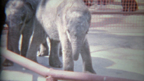 1963: Baby elephants in small zoo holding pens on display for wealthy humans Footage