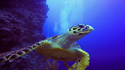 The Hawksbill Turtle Soars Above The Reef In The Red Sea stock footage