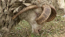 Four Horns Sheep-mutant In The Caucasus Mountains stock footage