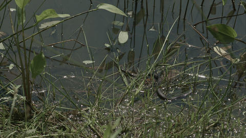 Freeze grass snake, natrix on pond with duckweed Footage
