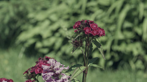 Fly on pink Carnations in garden Footage